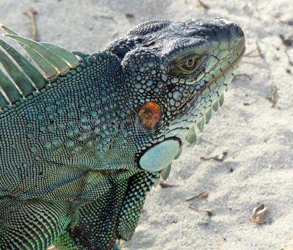 緑 イグアナ 肖像 ビーチ カリビアン ストックフォト © prill