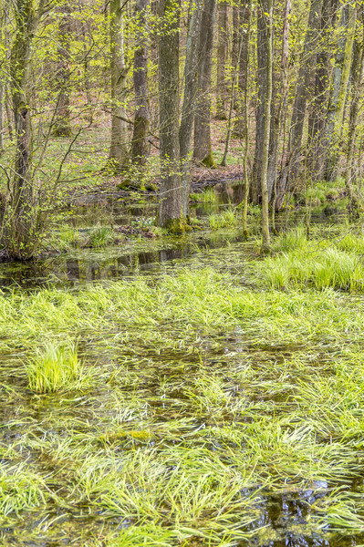 forest with swamp Stock photo © prill