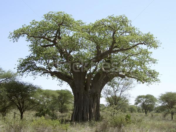 Baobab tree in Tanzania Stock photo © prill