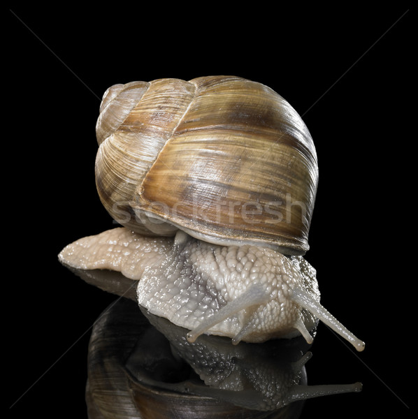 Grapevine snail on black Stock photo © prill