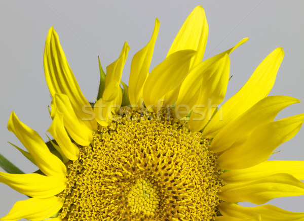 sunflower in grey back Stock photo © prill