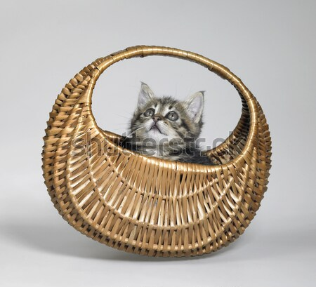 kitten looking up in small basket Stock photo © prill