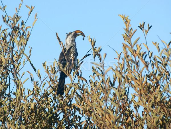 Northern red-billed hornbill Stock photo © prill