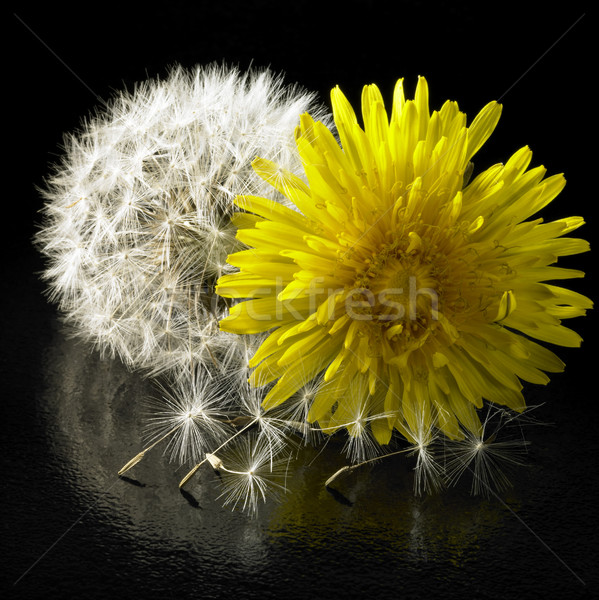 dandelion flower and blowball Stock photo © prill