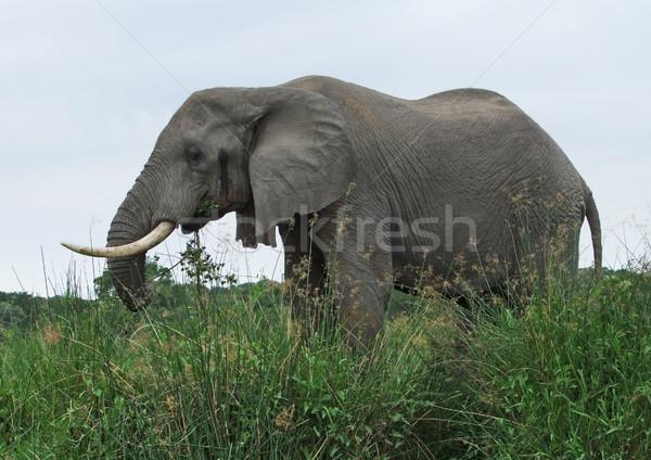 Stock fotó: Elefánt · magas · megnőtt · fű · lövés · Uganda