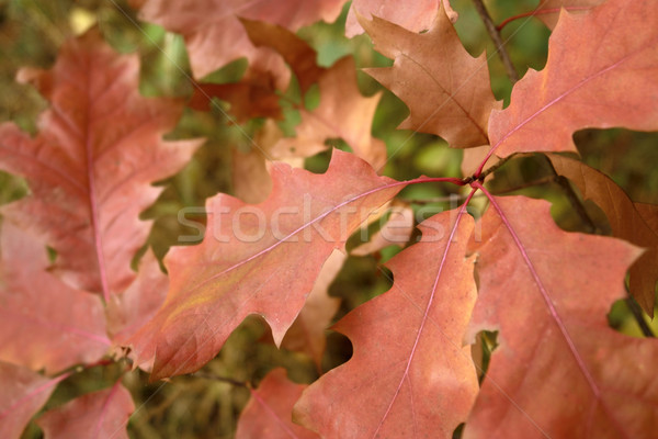 reddish autumn leaves Stock photo © prill