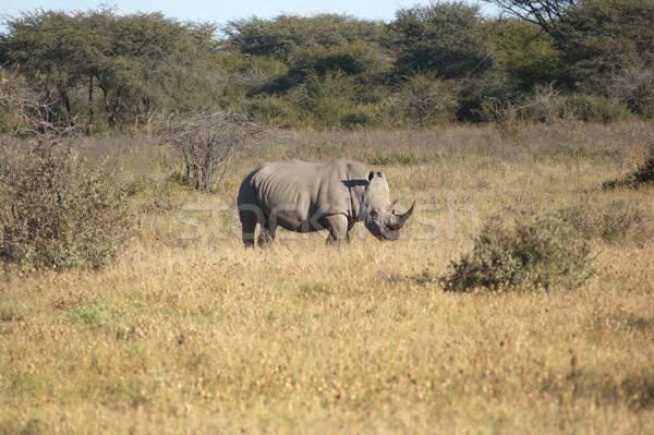 Fehér orrszarvú Dél-Afrika fű Afrika bokor Stock fotó © prill