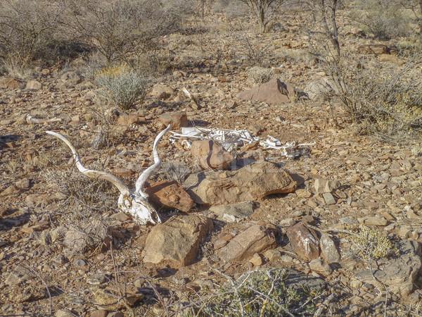 antelope skull in Namibia Stock photo © prill