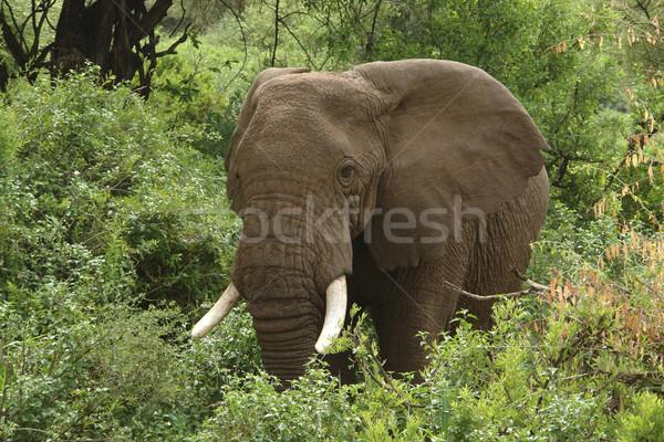 Elefanten grünen Vegetation Tansania Afrika Wald Stock foto © prill