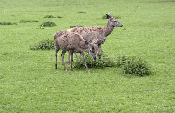 two Red Deers in green grassy ambiance Stock photo © prill
