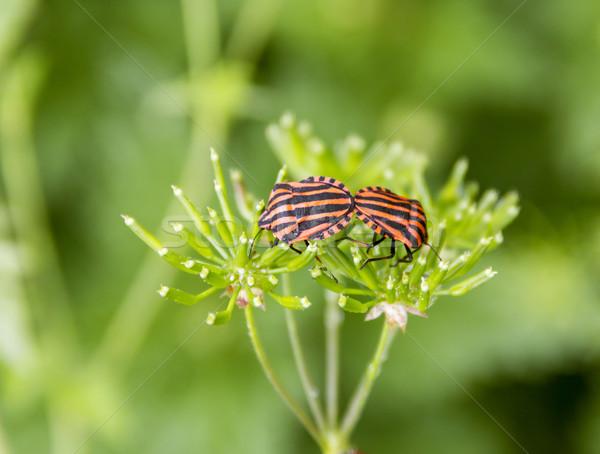 Olasz csíkos bogarak kettő természetes zöld Stock fotó © prill