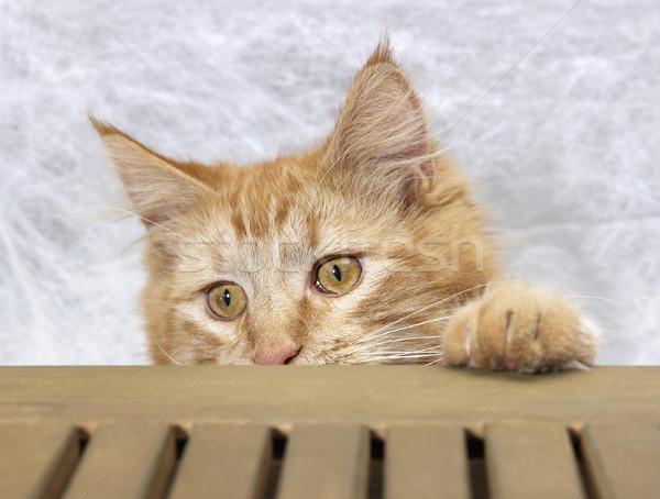 Maine kitten Rood spionage houten bank Stockfoto © prill