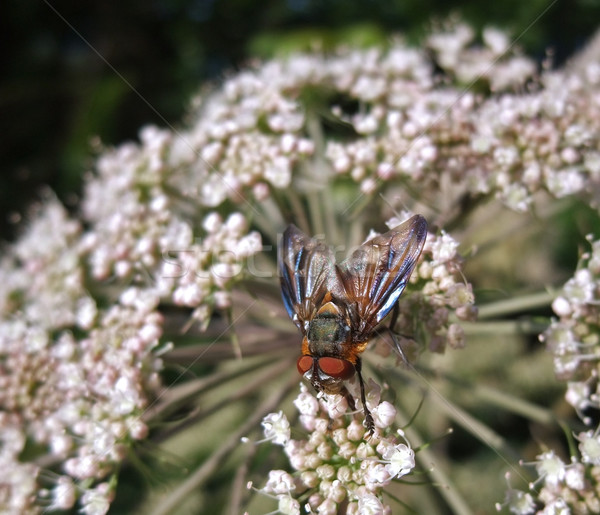 Diptera fly at summer time Stock photo © prill