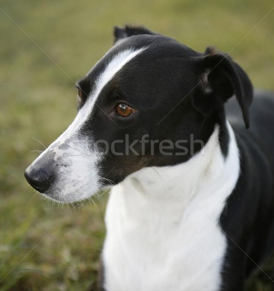 dog portrait Stock photo © prill