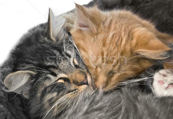 Stock fotó: Kiscicák · portré · kettő · piros · szürke · macska