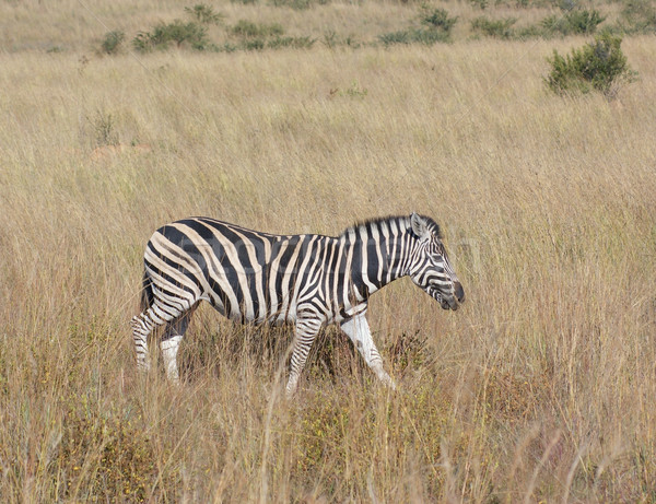 Zebra in the savanna Stock photo © prill