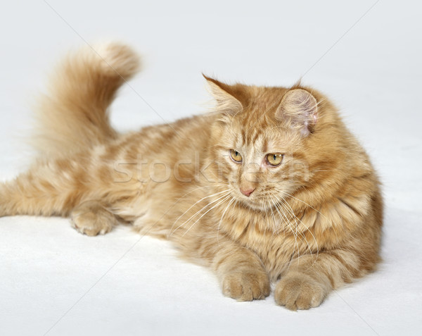 red Maine Coon kitten Stock photo © prill