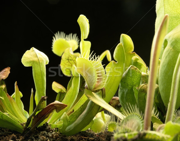 carnivorous plants Stock photo © prill