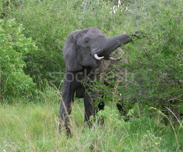 Elephant at fed in Uganda Stock photo © prill