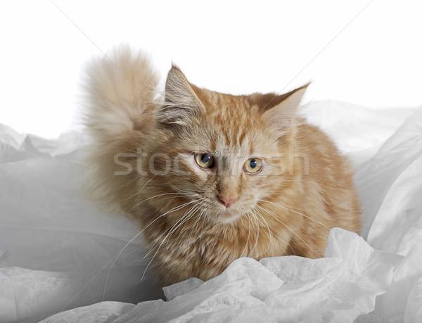 Maine Coon kitten Stock photo © prill