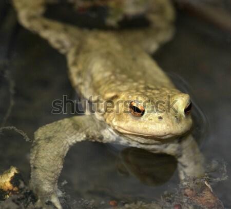 Varangy portré lövés úszik tavacska víz Stock fotó © prill