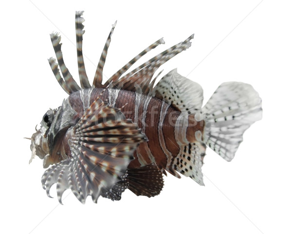 lionfish in white back Stock photo © prill