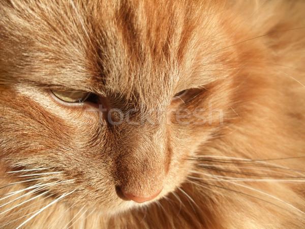 Maine Coon cat closeup Stock photo © prill