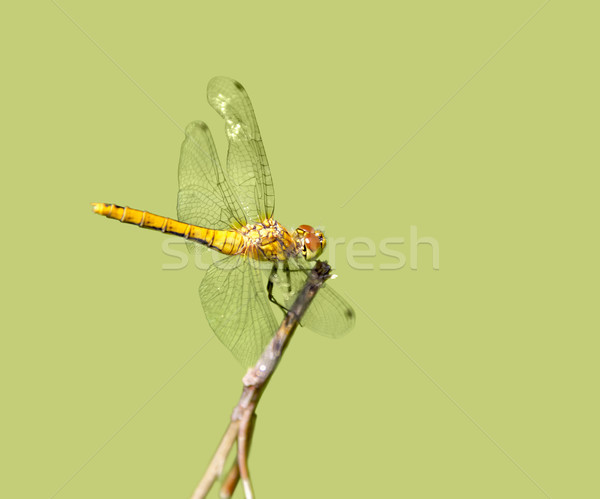 resting dragonfly Stock photo © prill