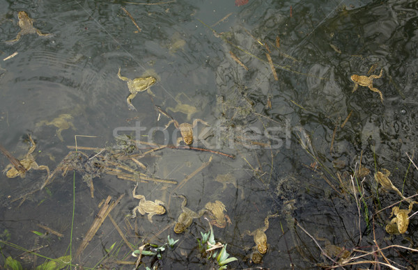 lots of common toads Stock photo © prill