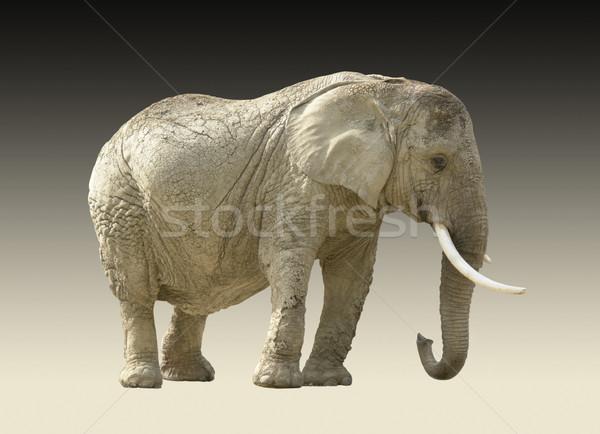 Afrika fil yalıtılmış eğim geri fil basit Stok fotoğraf © prill