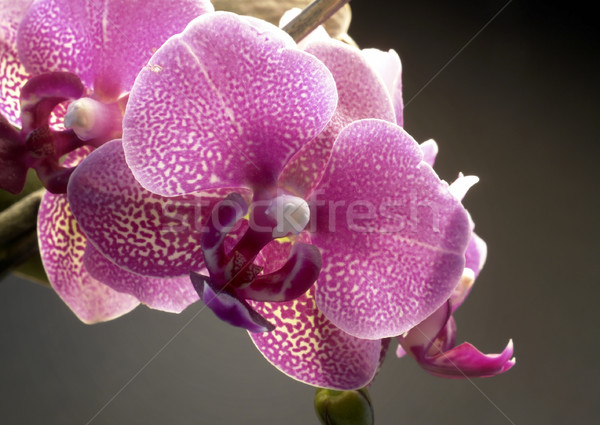 violet orchid flower Stock photo © prill