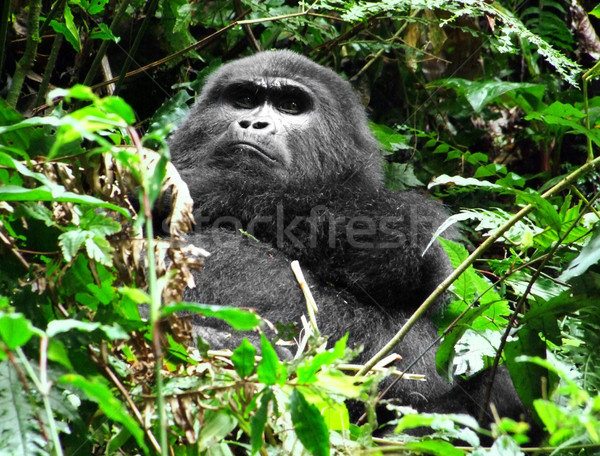 Gorila nube forestales montana Uganda África Foto stock © prill