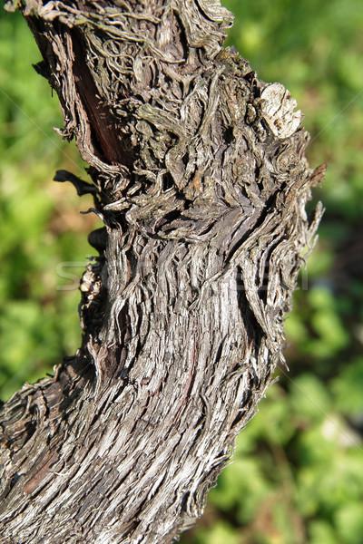 Winorośl szczegół drewna charakter roślin rolnictwa Zdjęcia stock © prill