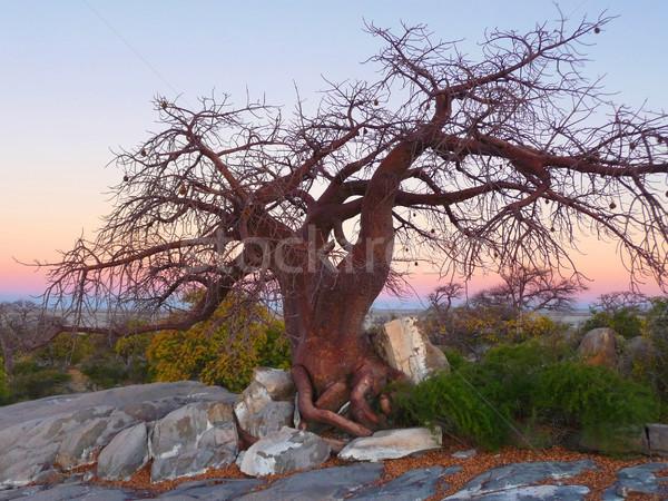 chestnut tree at Kubu Island Stock photo © prill
