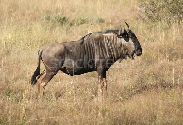 wildebeest in Botswana Stock photo © prill
