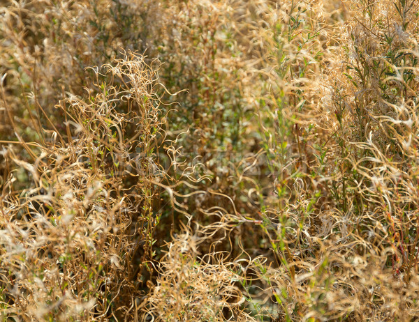 dry plant background Stock photo © prill