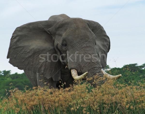 Elefánt Uganda mögött magas füves növényzet Stock fotó © prill