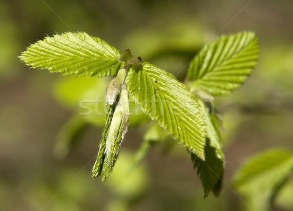 folded spring leaves Stock photo © prill