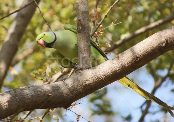 Rose-ringed Parakeet Stock photo © prill