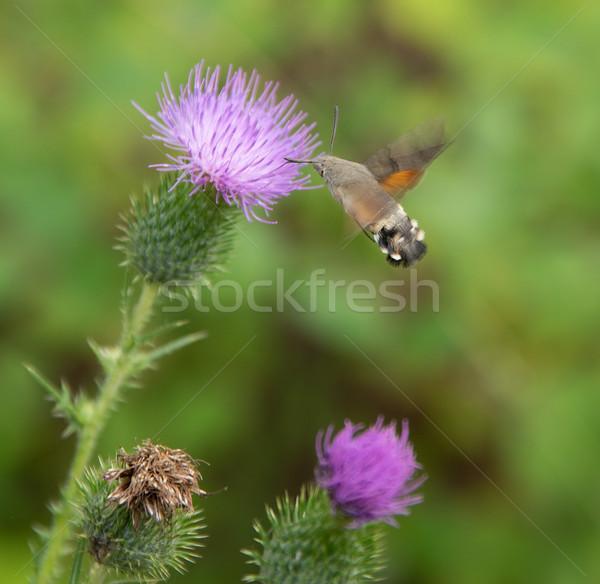 Hummingbird бабочка Flying вокруг лет завода Сток-фото © prill