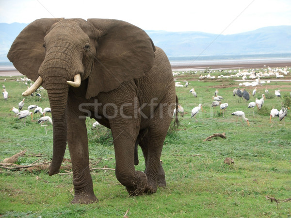 Elephant and birds in Africa Stock photo © prill