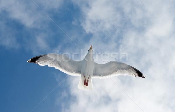 Repülés sirály alulról fotózva lövés kicsi természet Stock fotó © prill