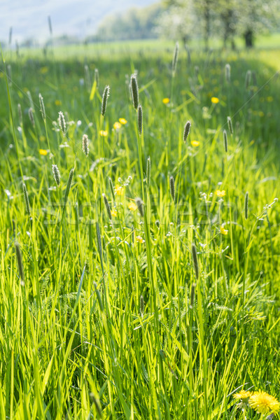 sunny illuminated grassland scenery Stock photo © prill