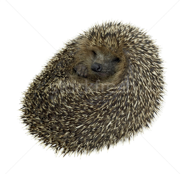 rolled-up hedgehog in white back Stock photo © prill