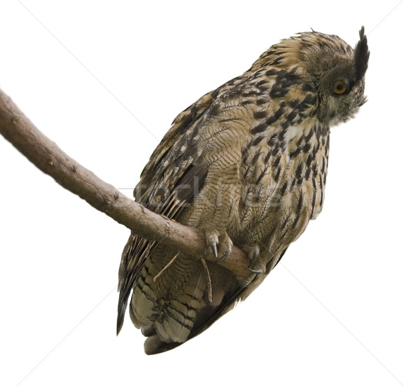 Eagle Owl in white back Stock photo © prill