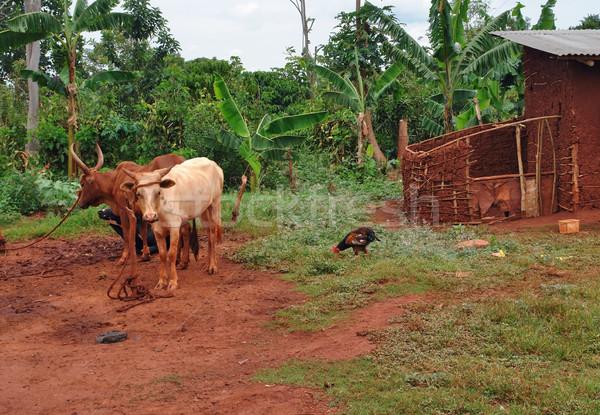 Szarvasmarha Uganda dzsungel díszlet Afrika épület Stock fotó © prill
