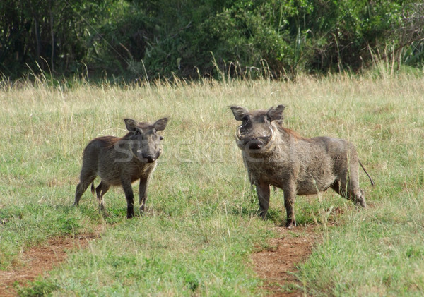 Warthogs in sunny ambiance Stock photo © prill