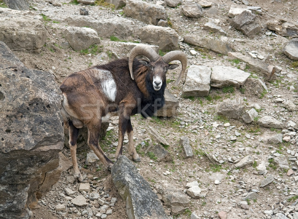 Mouflon in stony ambiance Stock photo © prill