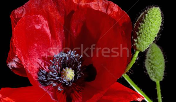 Poppy Stock photo © prill