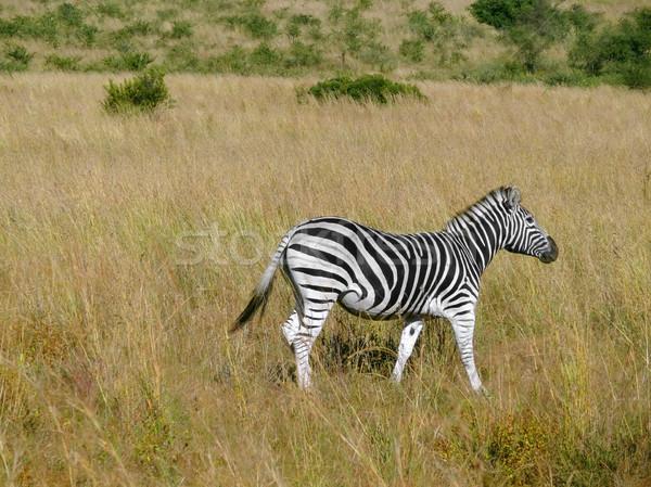 シマウマ 風景 南アフリカ 動物 アフリカ 立って ストックフォト © prill